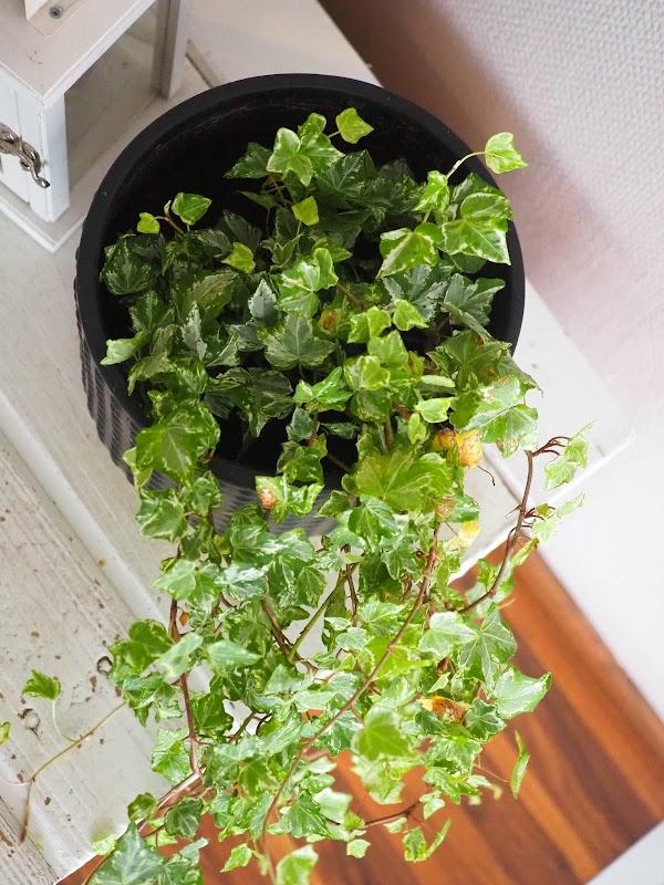 Helppohoitoisia huonekasveja x 5 ja nopeat hoitoniksit