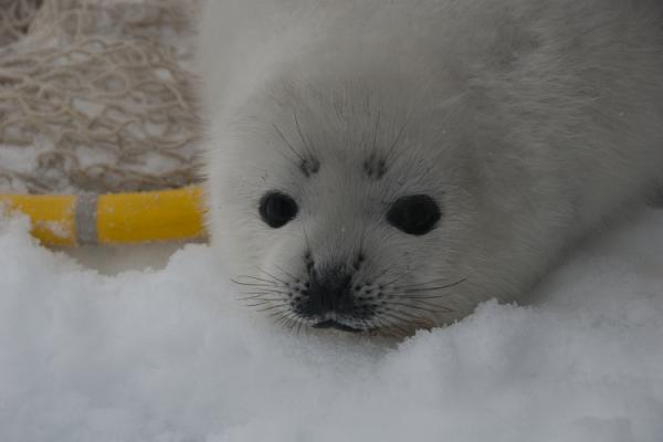 Ribbon Seal Pup