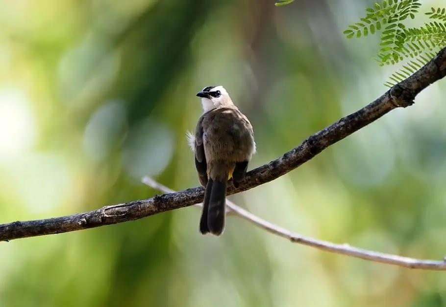Membuat Suara Burung Trucukan Keras