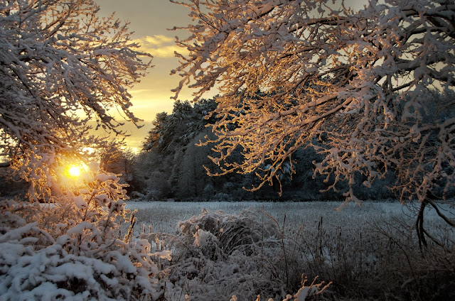 a snowy scene looking through snowy branches at an open field at sunrise