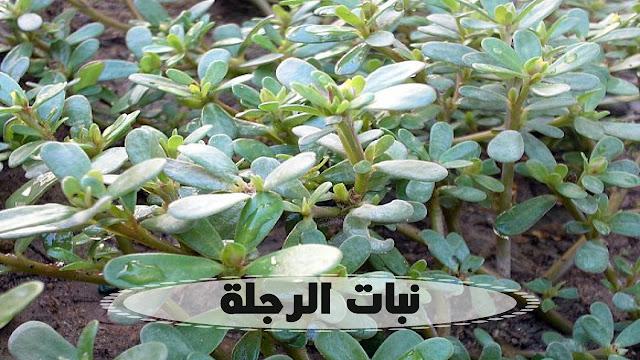 ماذا تعرف عن نبات الرجلة