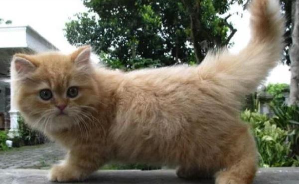 Contoh gambar kucing persia Medium
