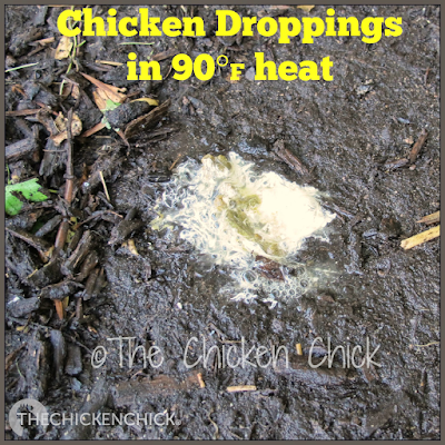 Due to increased water intake on hot days, a chicken's droppings can appear loose/watery/runny, which is completely normal. The passage of large amounts of water through the digestive tract is a method by which chickens cool themselves internally.