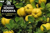 El género Cydonia arbustos de hasta 6 ó 7 m. de altura con ramas irregulares y tortuosas