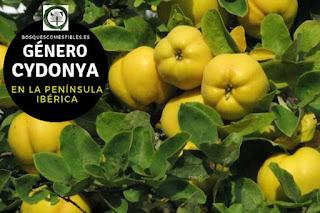 El género Cydonya, arbusto o arbolillos hasta 6 ó 7 m. de altura con ramas irregulares y tortuosas