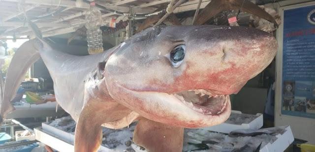 A scary 2 meters long 'bull shark' caught in Himara waters