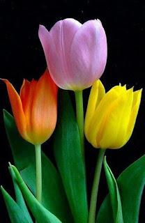 tulipanes-de-colores