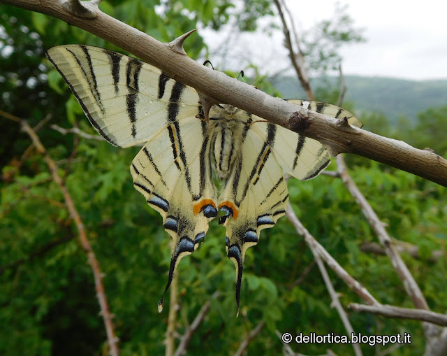 Podalirio farfalla alla fattoria didattica dell ortica su di una rosa canina a savigno valsamoggia bologna vicino zocca
