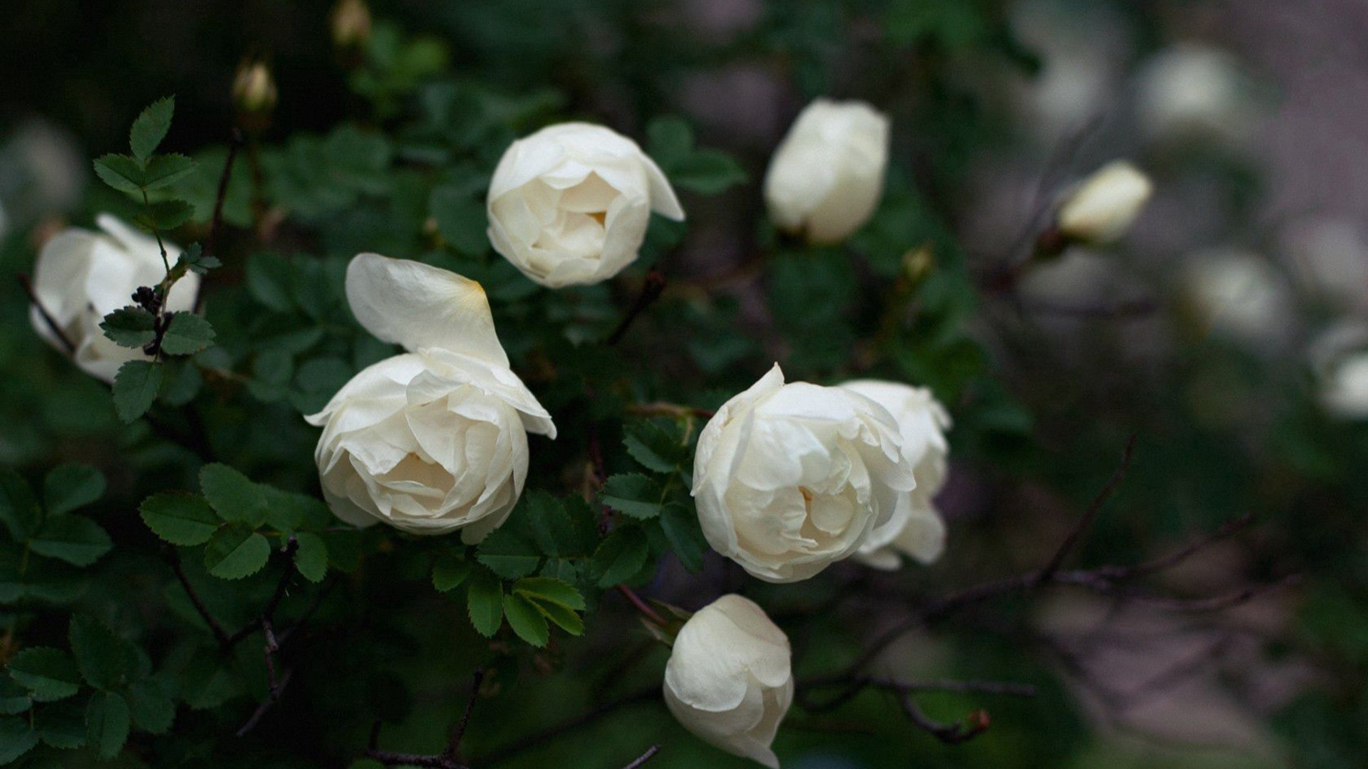White Flowers with leaves in blur background HD flowers Wallpaper