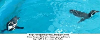 Pingüinos nadando tranquilos y felices - Parque de las Leyendas. Foto de pinguinos de Jesus Gómez