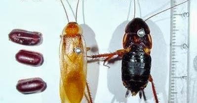 最佳生物餌料 ~ 櫻桃紅蟑: 櫻桃紅蟑螂的成長圖解