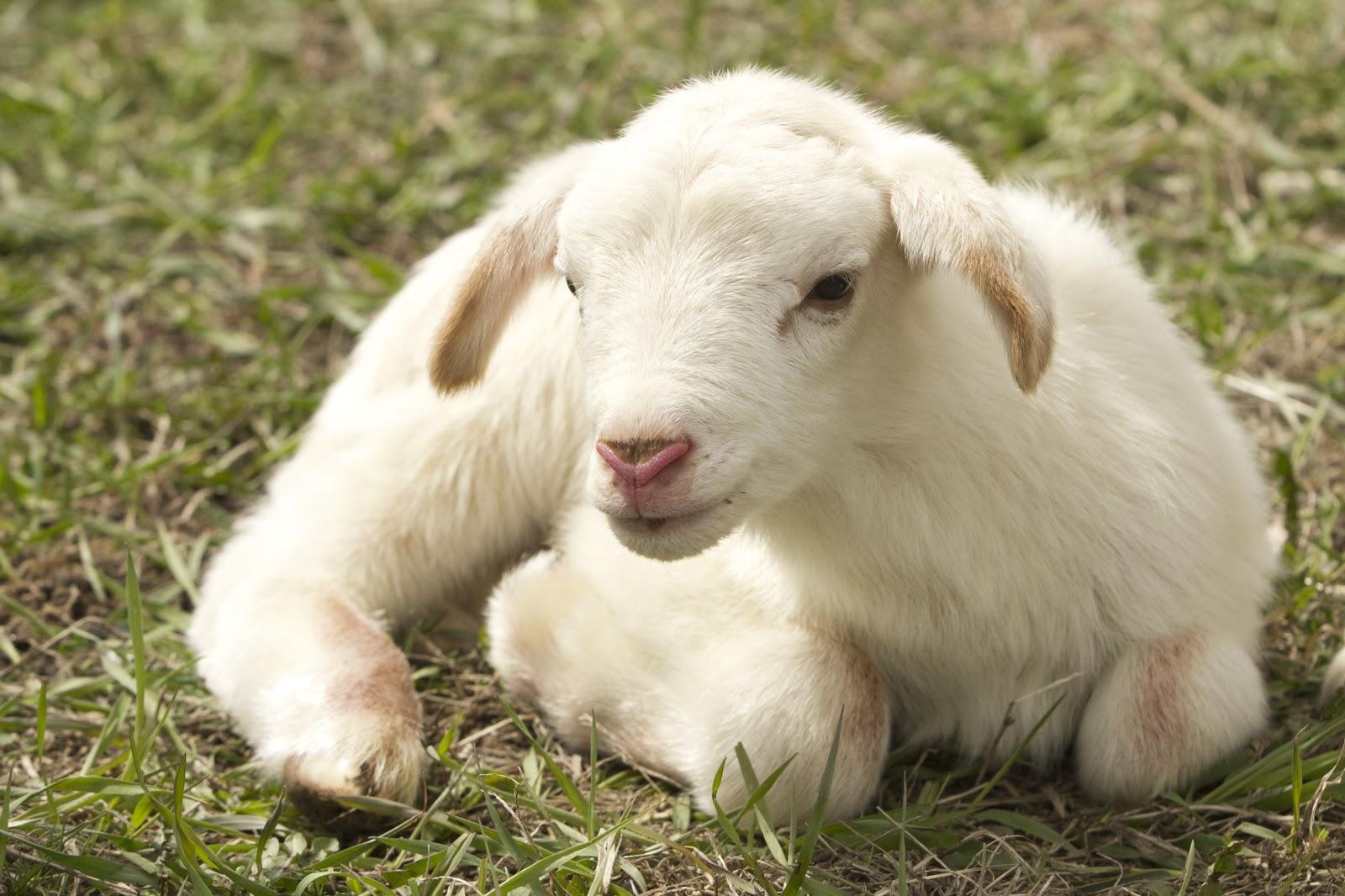 草むらに寝そべる子羊