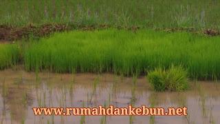 penyemaian tanaman padi