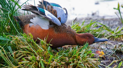 Photo of male Cinnamon Teal stretching his wings on the shoreline