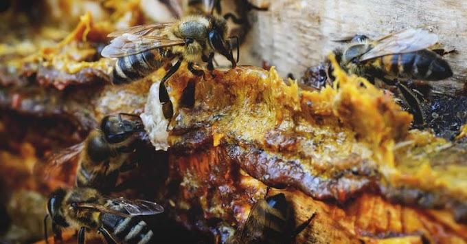 Air Liur Lebah, Obat Ajaib Taklukkan 1001 Penyakit