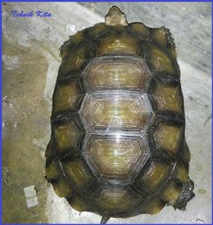 emys turtle