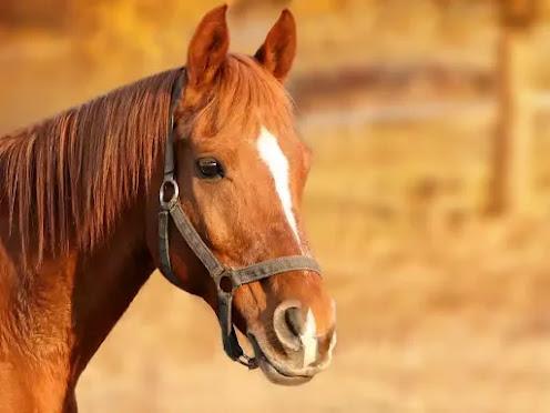 horse information in Marathi language