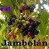 No sabía como se llamaba esta fruta morada? El jambul o jambolán, Syzygium cumini.