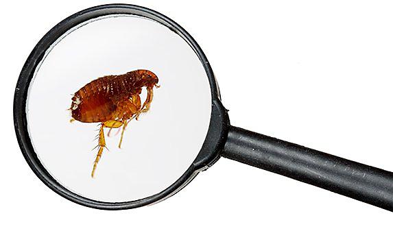 How to Control Fleas