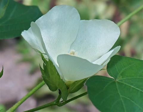 Cotton variety
