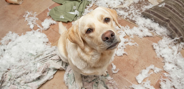 My dog destroys everything in the house: why? How to react?