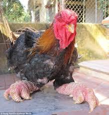 """""""بدجاج """"دونغ تاو""""،  """"دجاج ارجل التنين"""" """"الدجاج الفيتنامي"""" """"اضخم دجاج في العالم"""" """"اغلى انواع الدجاج"""" """"اغلى الفراخ في العالم"""" """"اكبر انواع الفراخ"""" """"فراخ زينة"""" """"دجاج زينة"""" """"دجاج دراجون"""" """"Dragon Chicken"""" """"صور دجاج """" """"صور اضخم دجاج"""" """"صور فراخ جميلة"""" """"دجاج نادر"""" """"فراخ نادرة"""" """"طيور نادرة"""" """"طريقة عمل دجاج دراجون"""" """"""""دجاج دونج تاو"""""""