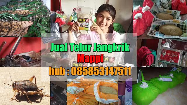 Jual Telur Jangkrik Kabupaten Mappi Hubungi 085853147511