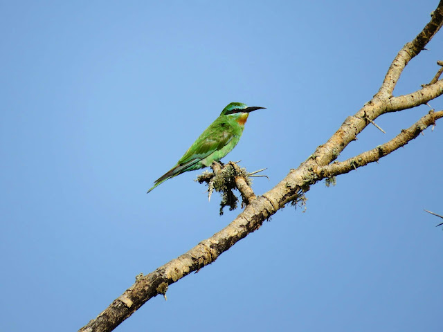 Little Green Bee-eater in Uganda's Mburo National Park