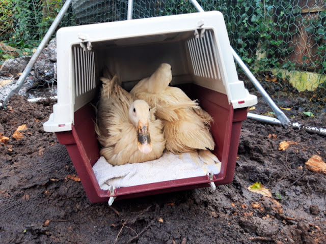Two bedraggled ducks in a cat carrier.