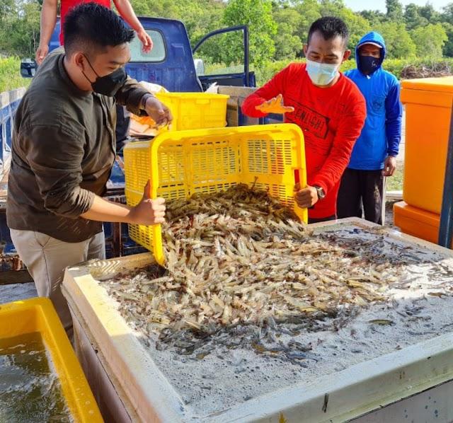 Panen Raya Tahap Pertama,  Klaster Tambak Udang Sukamara Hasilkan 10 Ton Per Hektare