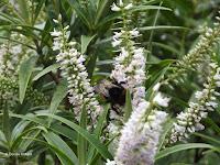 Bumblebee on flower - Mount Taranaki trail, New Zealand