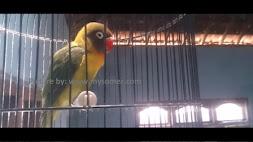 Tips Menambah durasi Ngekek Love Bird Kita berfikir logika
