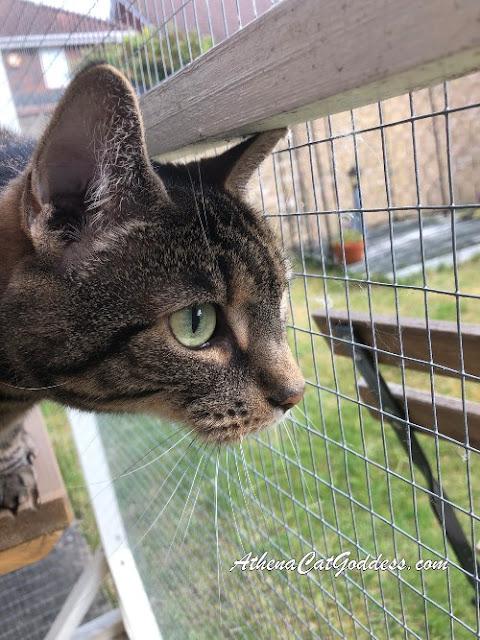 tabby cat side profile