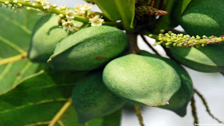 Indian almond fruit images wallpaper