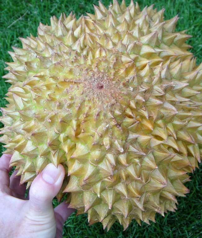 Bagian Bawah Durian Matang