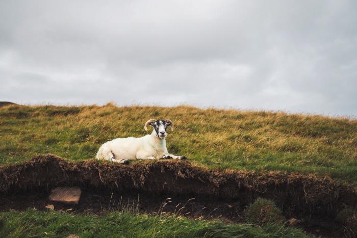 Mouton sur l'île de Skye en Ecosse