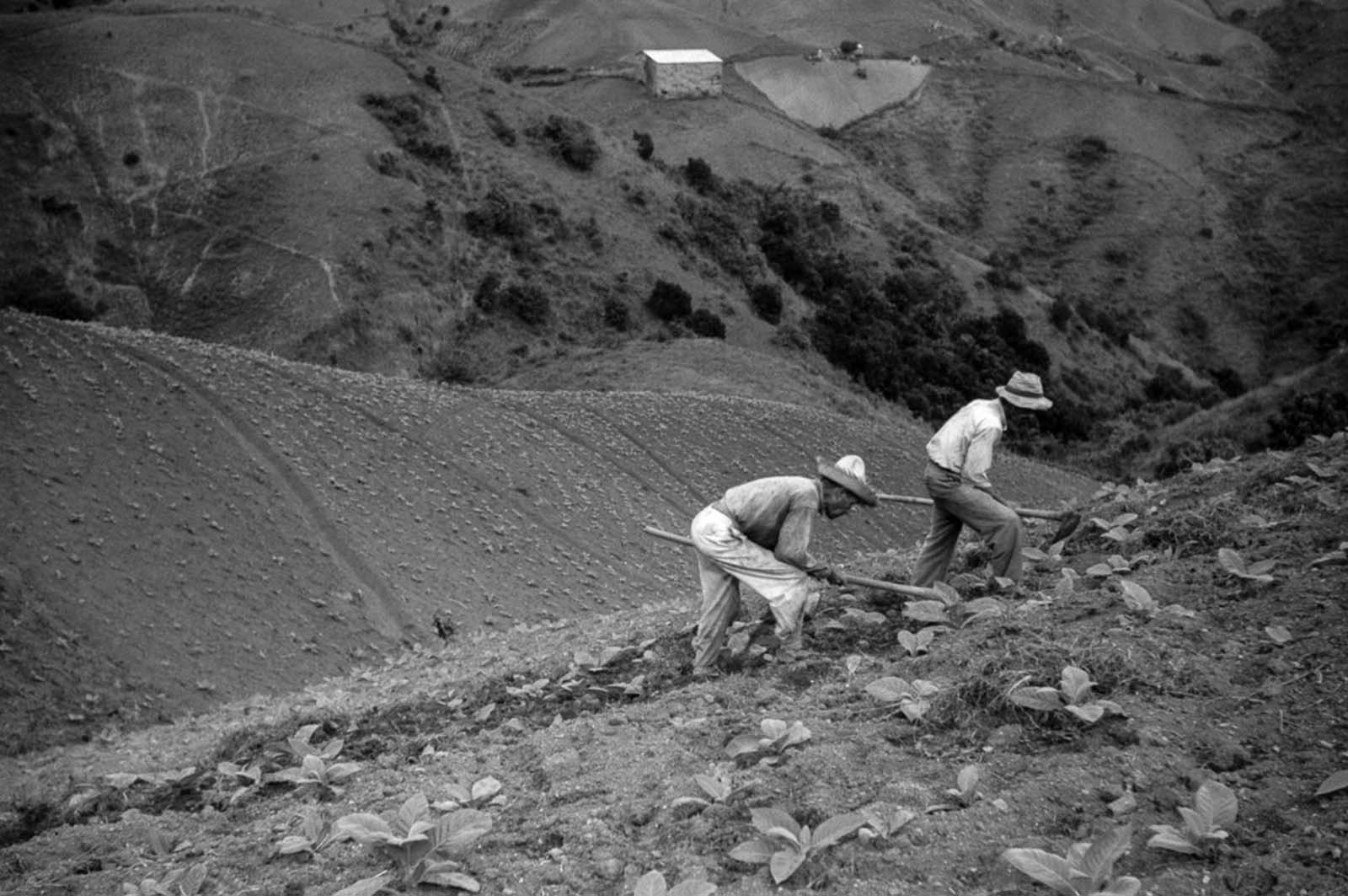 Farmers cultivate tobacco near Barranquitas.