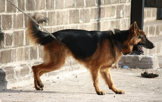 12 Interesting Facts About German Shepherd Dogs