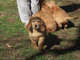 Brittany spaniel golden retriever mix Temperament, Size, Adoption, Lifespan, Price