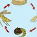 Mengenal Siklus Daur Hidup Nyamuk
