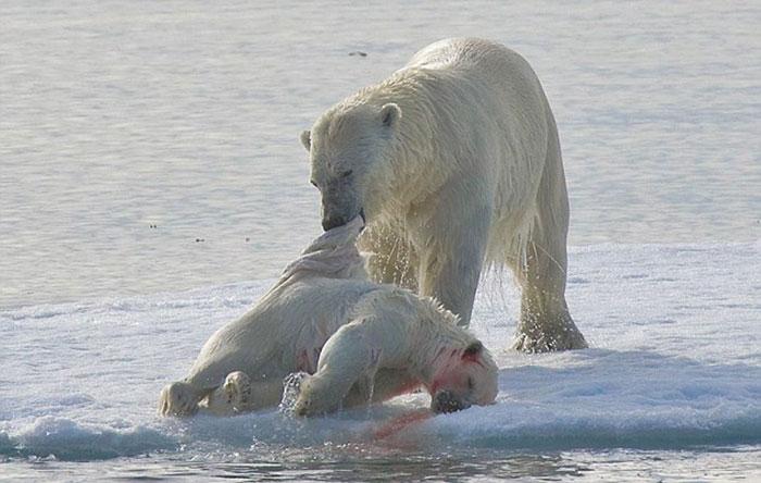 Beruang Kutub Kanibal