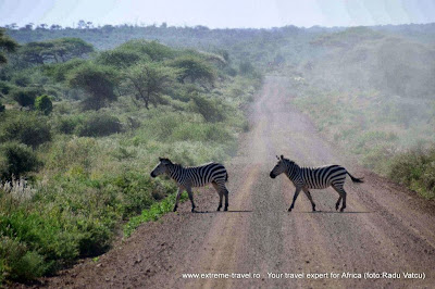 doua zebre traversand