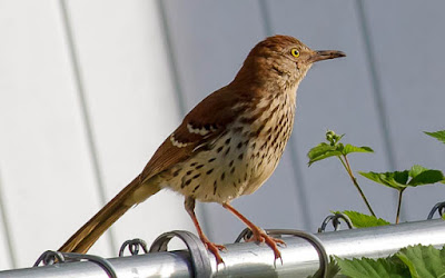 Photo of Brown Thrasher on a chain link fence