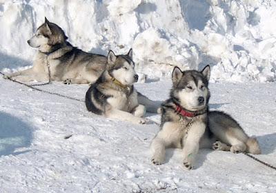 anjing Alaskan Malamute memiliki karakter kalem