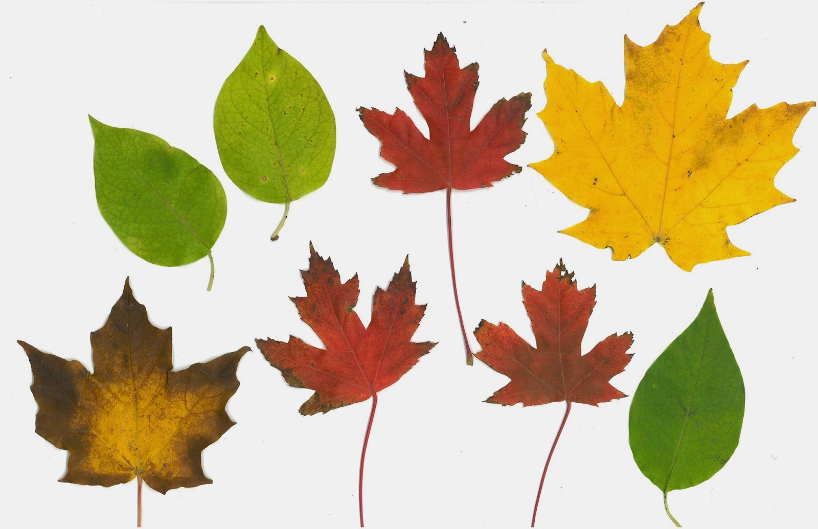 Scan Of Fall Leaves Printable