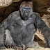 Gorillas at zoo test positive for COVID-19