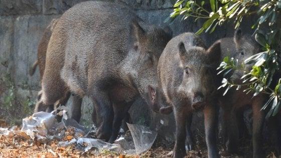 Caccia al cinghiale: in Basilicata procedure più snelle per riduzione esemplari