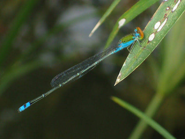 Pseudagrion rubriceps