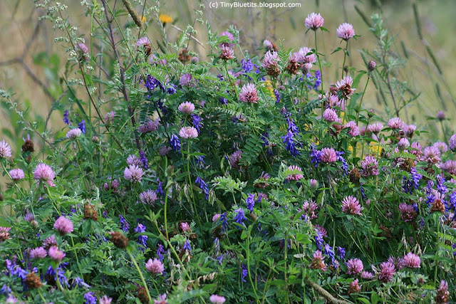 Wild flowers in the meadow: red clovers and tufled vetchs
