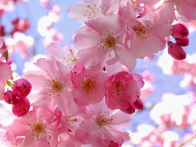 Beautiful and Beautiful Sakura Flowers